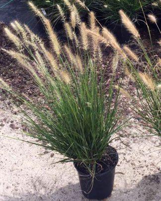 Pennisetum alopecuroides 'Hameln', Fountain Grass