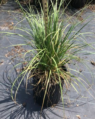 Cortaderia, pampas grass