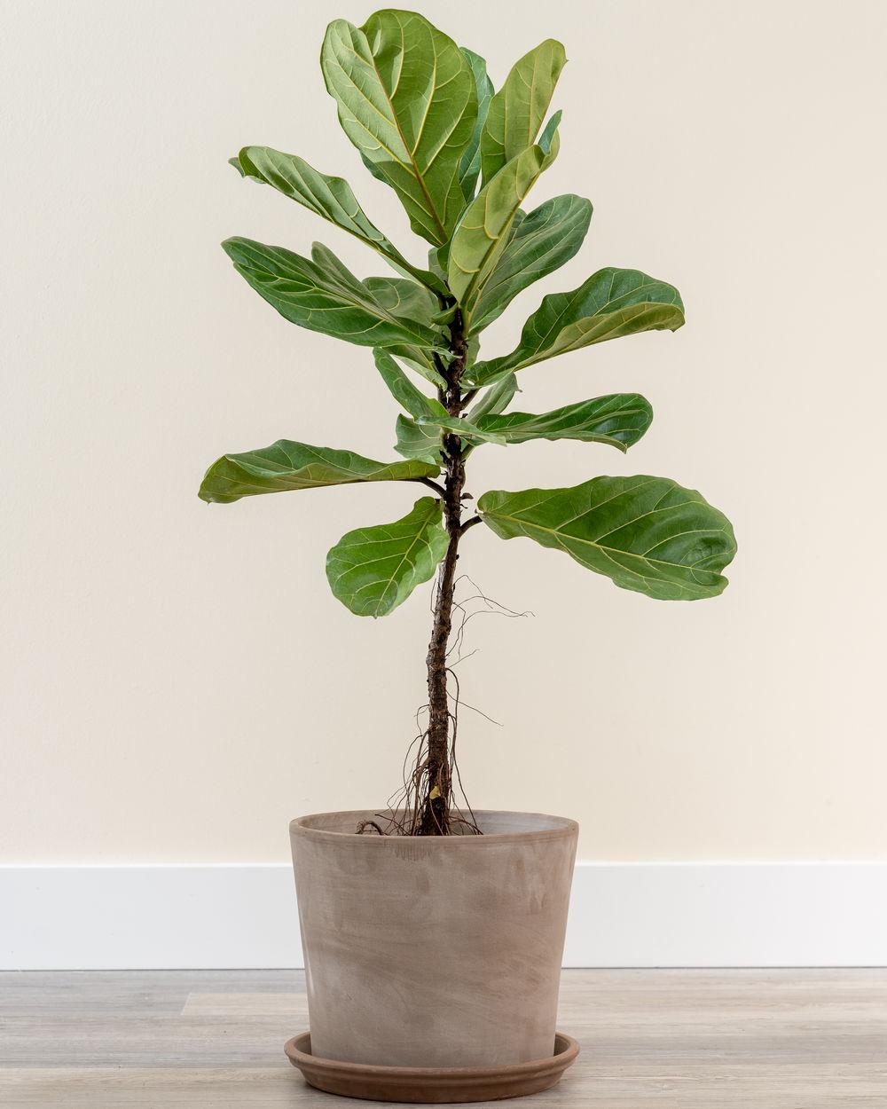 Buy Ficus lyrata, Fiddle Leaf Fig   Free Shipping over $32