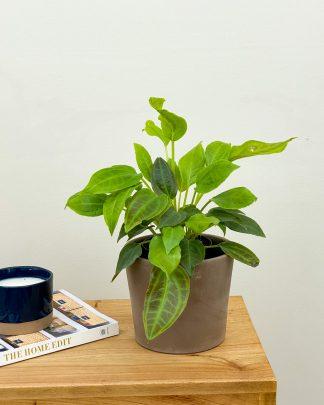 Monolena Primuliflora, Monolena Primuliflora
