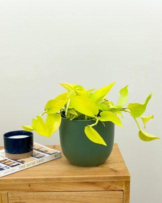 Epipremnum aureum 'Neon', Pothos Vine