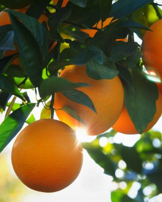 Valencia Orange, Citrus sinensis 'Valencia'