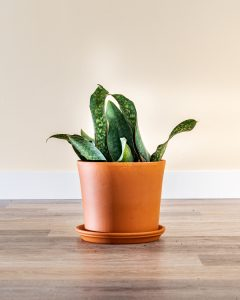 'Whale Fin' Snake Plant
