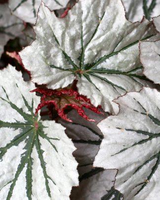 Foliage Color