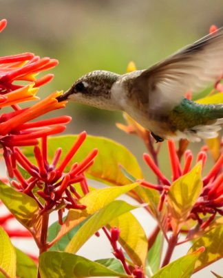 Hummingbird Attracting Plants