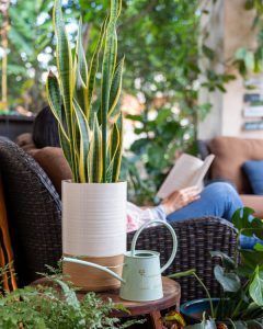 Sansevieria Laurentii Outdoors on Shaded Patio